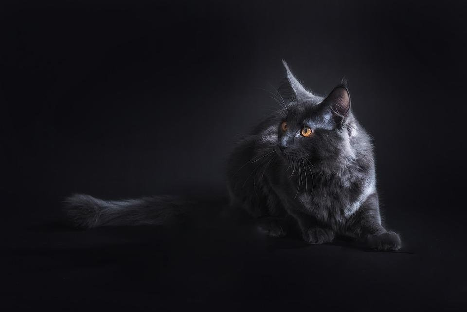 Čierna Africká mačička fotky