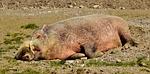boar, sleep, relaxed