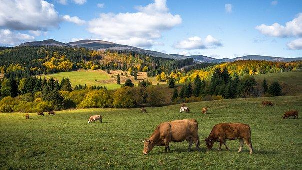Осень, Природа, Коровы, Золотая Осень
