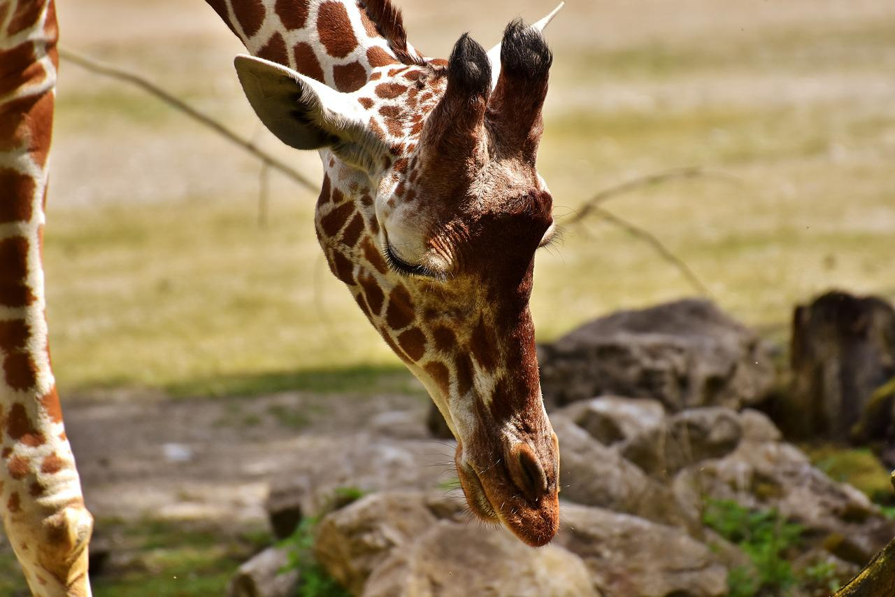 Картинки смешные с жирафами