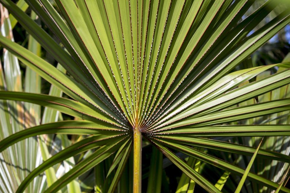 Palmeira da serra serenoa repens - free photo on pixabay