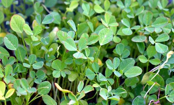 Fenugreek, Herb, Spice, Green Leaves