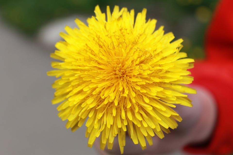 Dandelion yellow summer free photo on pixabay dandelion yellow summer flower a yellow flower mightylinksfo