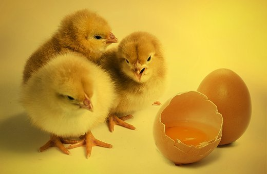 Chicks, Bird, Chickens Chicks, Egg