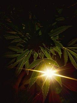 Weed, Chronic, Marijuana, Legal