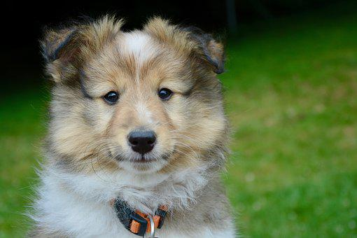 Shetland Sheepdog Puppies For Sale in Wyoming