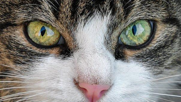 Katze, Flüge, Augen, Hautnah, Tier