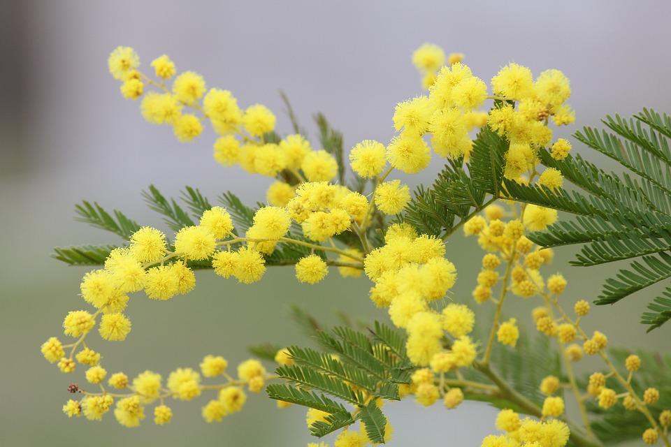 immagini mimosa fiore da
