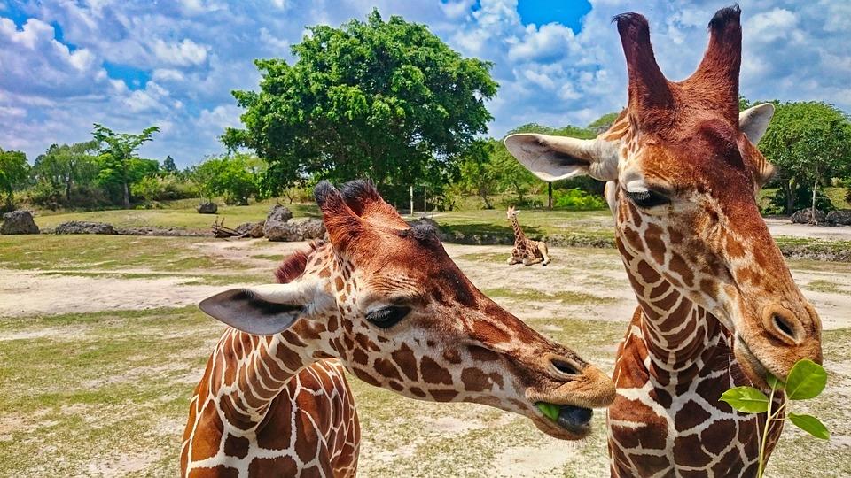 Zoo, Żyrafa, Zwierzę, Głowa Żyrafy, Zwierze