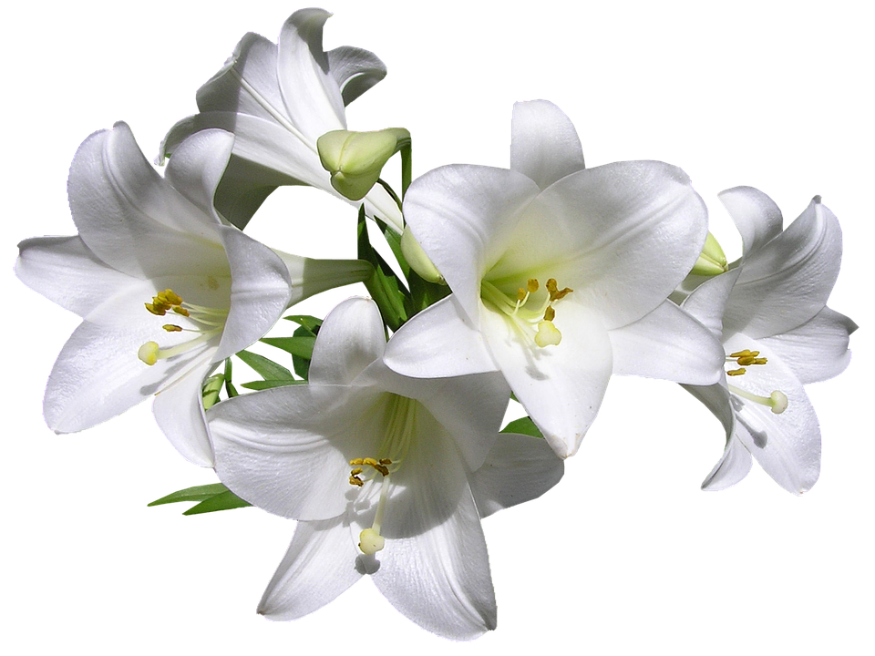 lilies white flowers free photo on pixabay. Black Bedroom Furniture Sets. Home Design Ideas