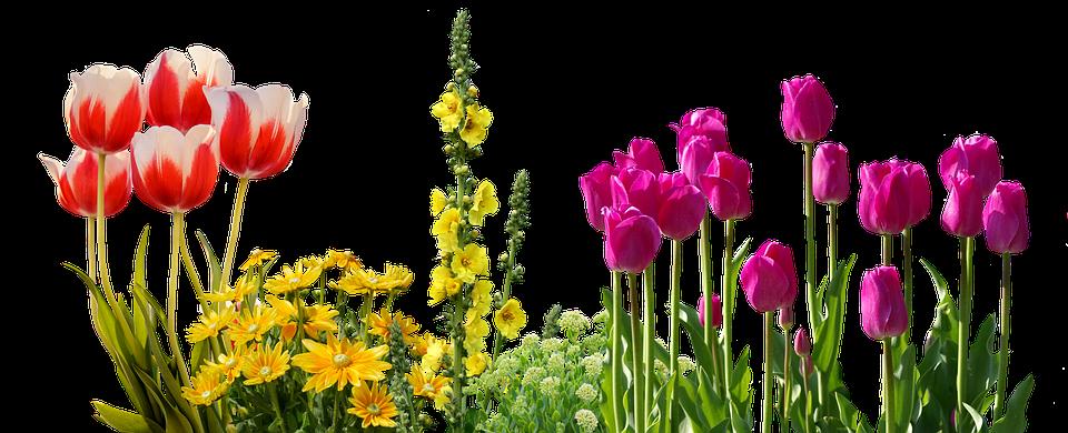 Tulips spring flowers flower free photo on pixabay tulips spring flowers flower bed plant nature mightylinksfo
