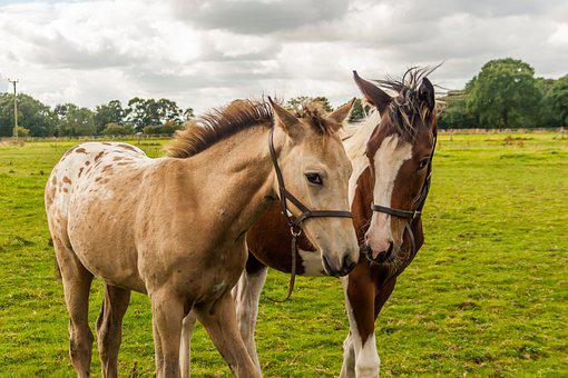 Foals, Horses, Appaloosa, Fillies