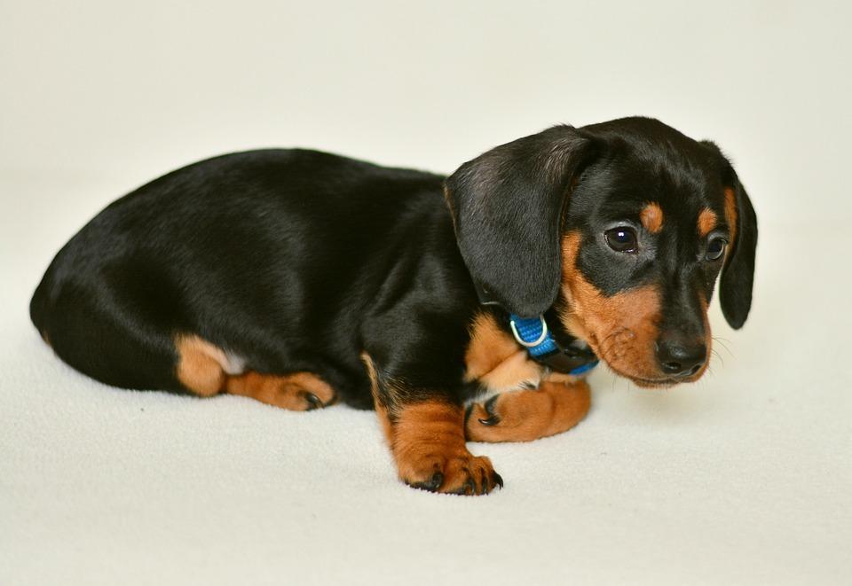 Dachshund Puppy Young Animal - Free photo on Pixabay