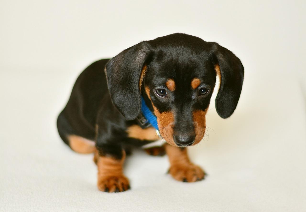 Картинка такса щенок