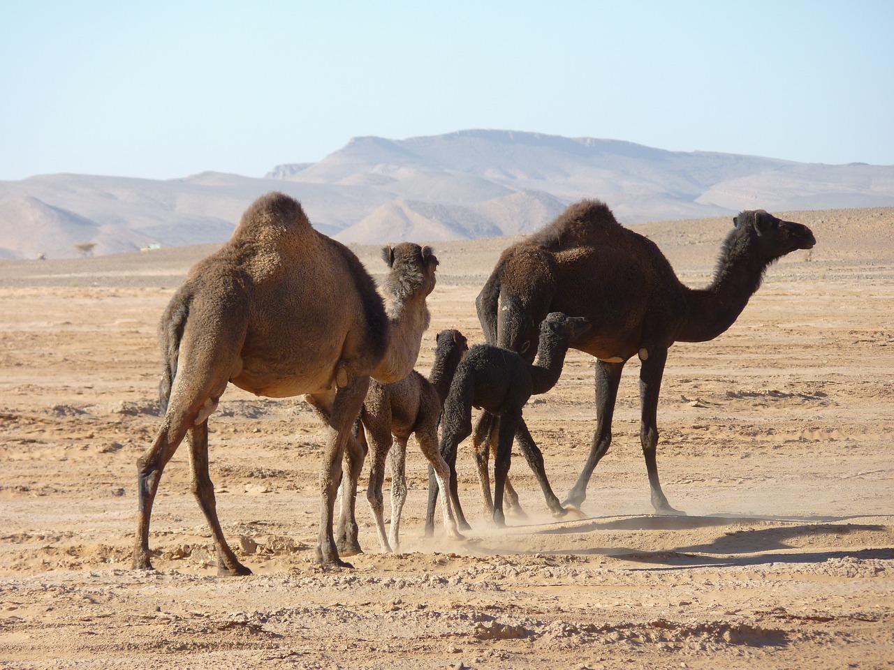 лучших картинка верблюды корабли пустыни этом требуется