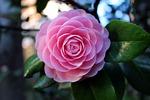 rose, flowers, pink