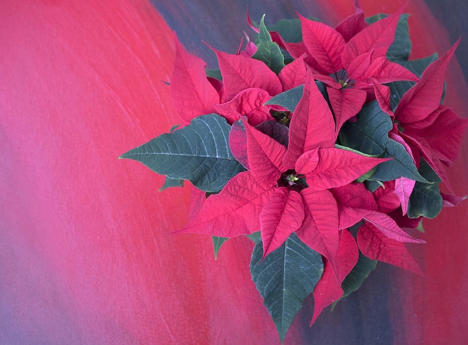 Weihnachtsstern Hintergrund · Kostenloses Foto auf Pixabay