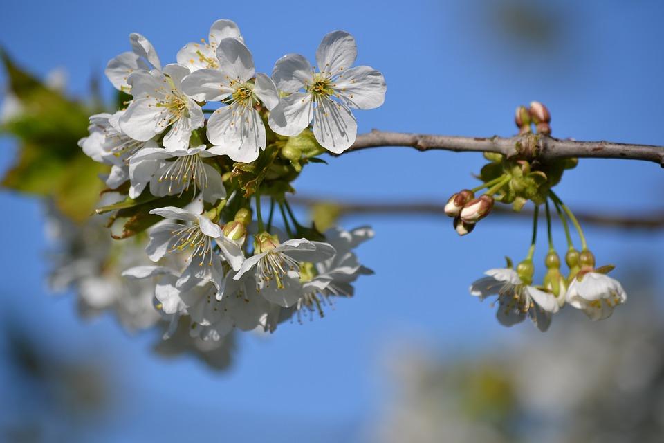 Kirschblüte Baum Frühling · Kostenloses Foto auf Pixabay