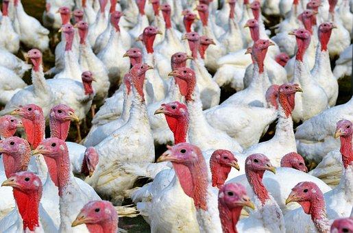 Turkeys, Birds, Plumage, Poultry