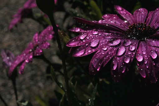 Rain, Purple, Flower, Purple Flower
