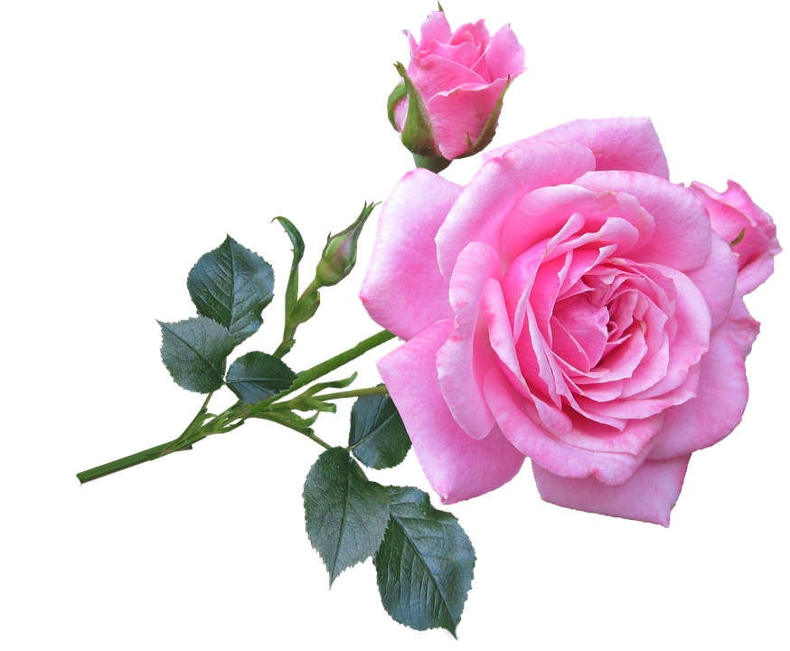 Pink Rose Stem · Free Photo On Pixabay