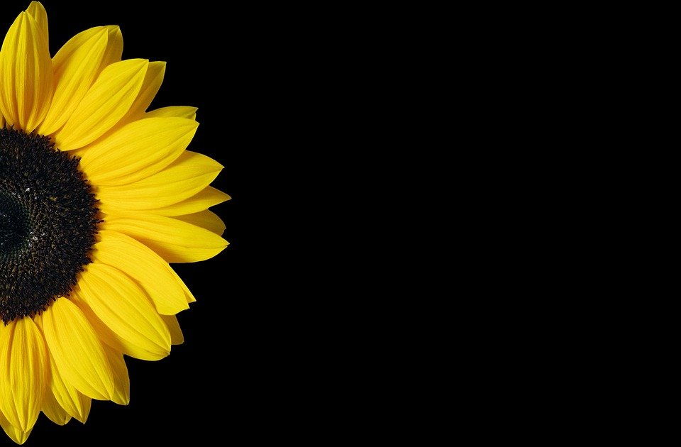 Sunflower yellow black free photo on pixabay sunflower yellow black background copy space mightylinksfo