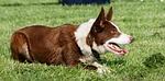 dog, border collie, collie