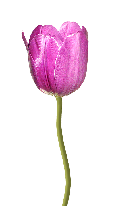 Tulip Pink Flower Nature Transparent Background