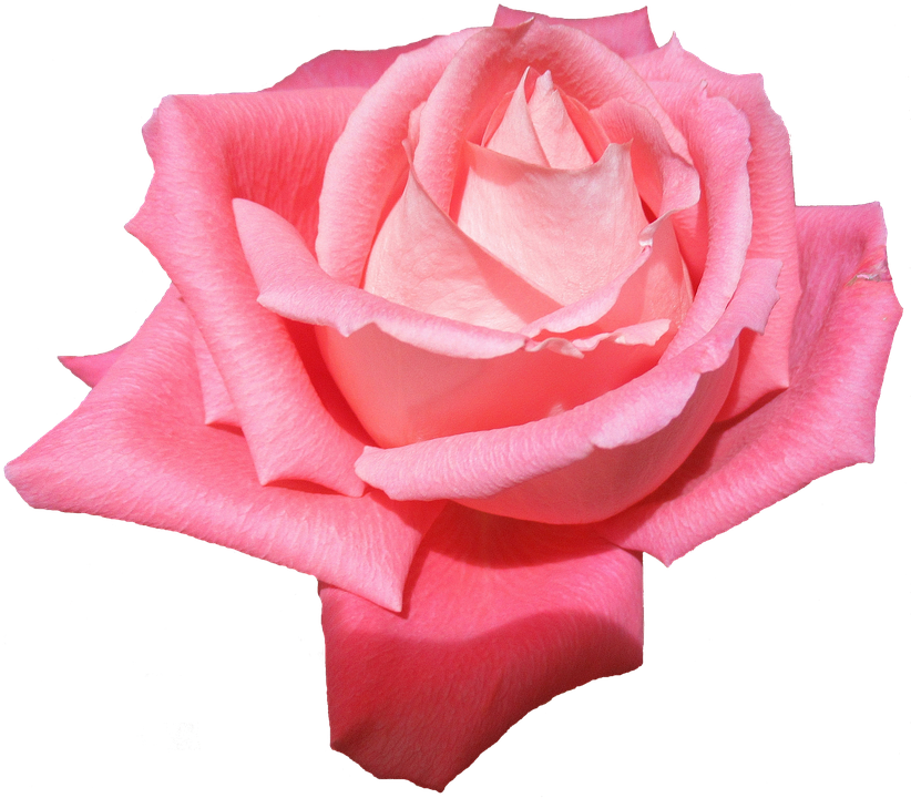 Pflanze Blume Rose Ohne Kostenloses Foto Auf Pixabay