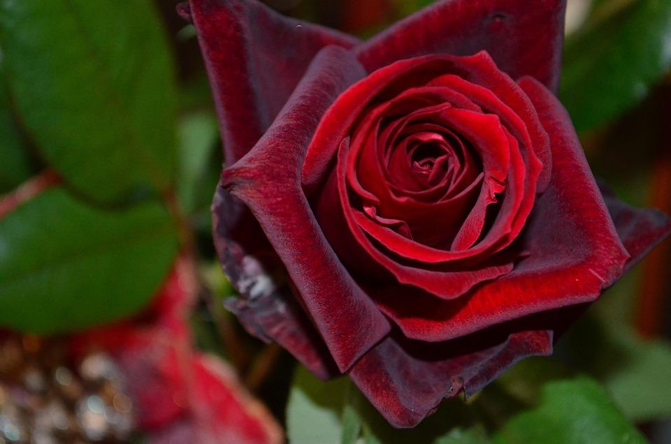 Rote Rosen Rot Weihnachten · Kostenloses Foto auf Pixabay