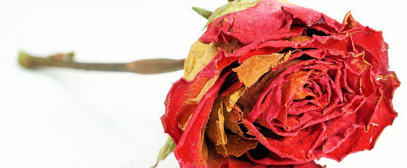 Rose, Red, Dry, Love, Flower, Blossom Know more about the days leading up to Valentine's day like Rose Day, Chocolate day and Anti-Valentine's day like break up day, slap day and more.