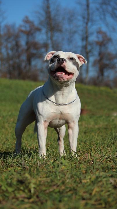 Populares Staffordshire Bull Terrier Blanco · Foto gratis en Pixabay YO78