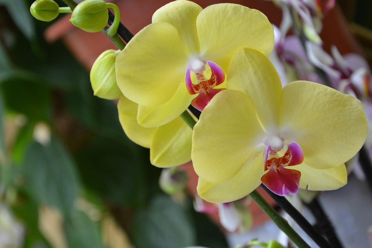 желтая орхидея фаленопсис фото