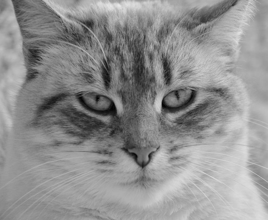 e9c87b7c1 Mačka Vedúci Foto Čierna - Fotografia zdarma na Pixabay