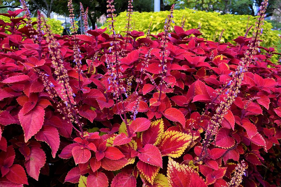 Red Coleus Plants Garden Botany Life Coleus Red