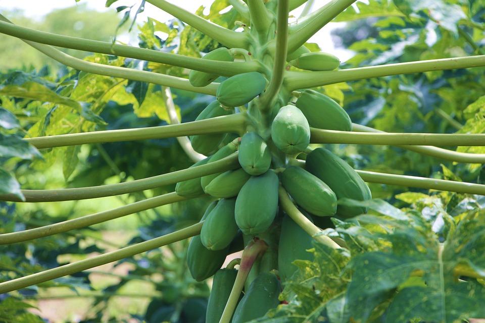 Agricultura, Papaya, Fruta, Fruto, Alimentos, Verde