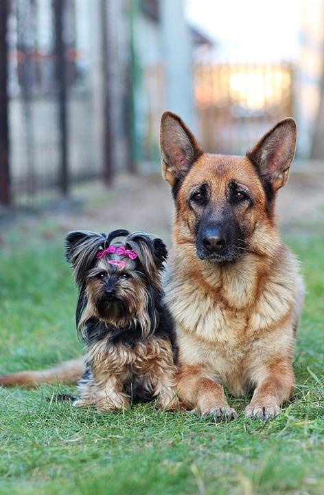 Berger Allemand, Yorkshire Terrier, Chiens, Amitié