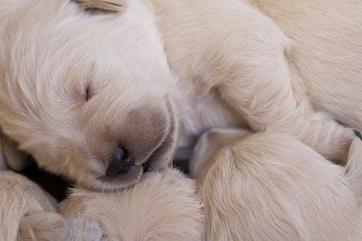 Puppies, Golden, Retriever, Cute Puppy