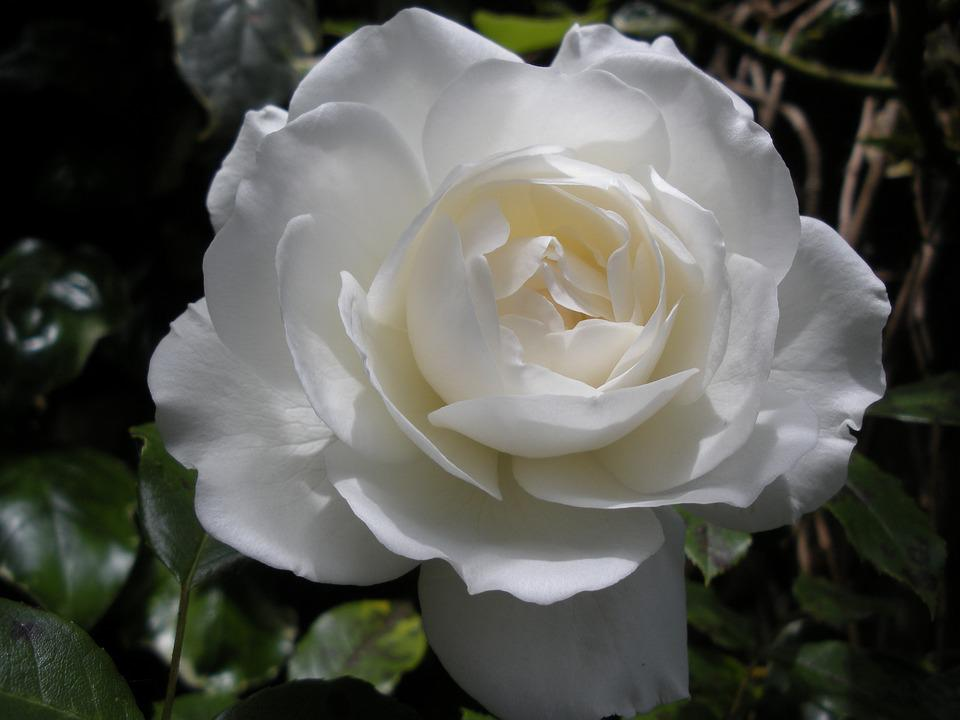 White Rose, Flower, Garden