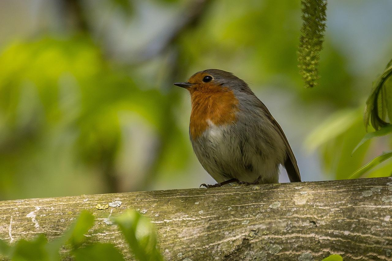 певчие птицы украины фото рождения лучше
