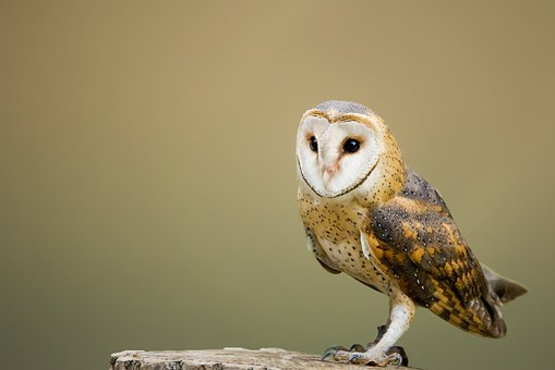 Barn Owl, Perched, Tree Stump, Owl