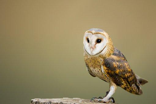 Barn Owl, Perched, Tree Stump, Owl