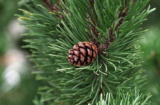松, 円錐形の松, 必須, 油, 針葉樹, 針, 木, 自然, 森, 小枝, 緑