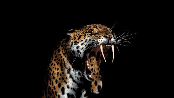 44+ Gambar hewan jaguar hitam terbaru