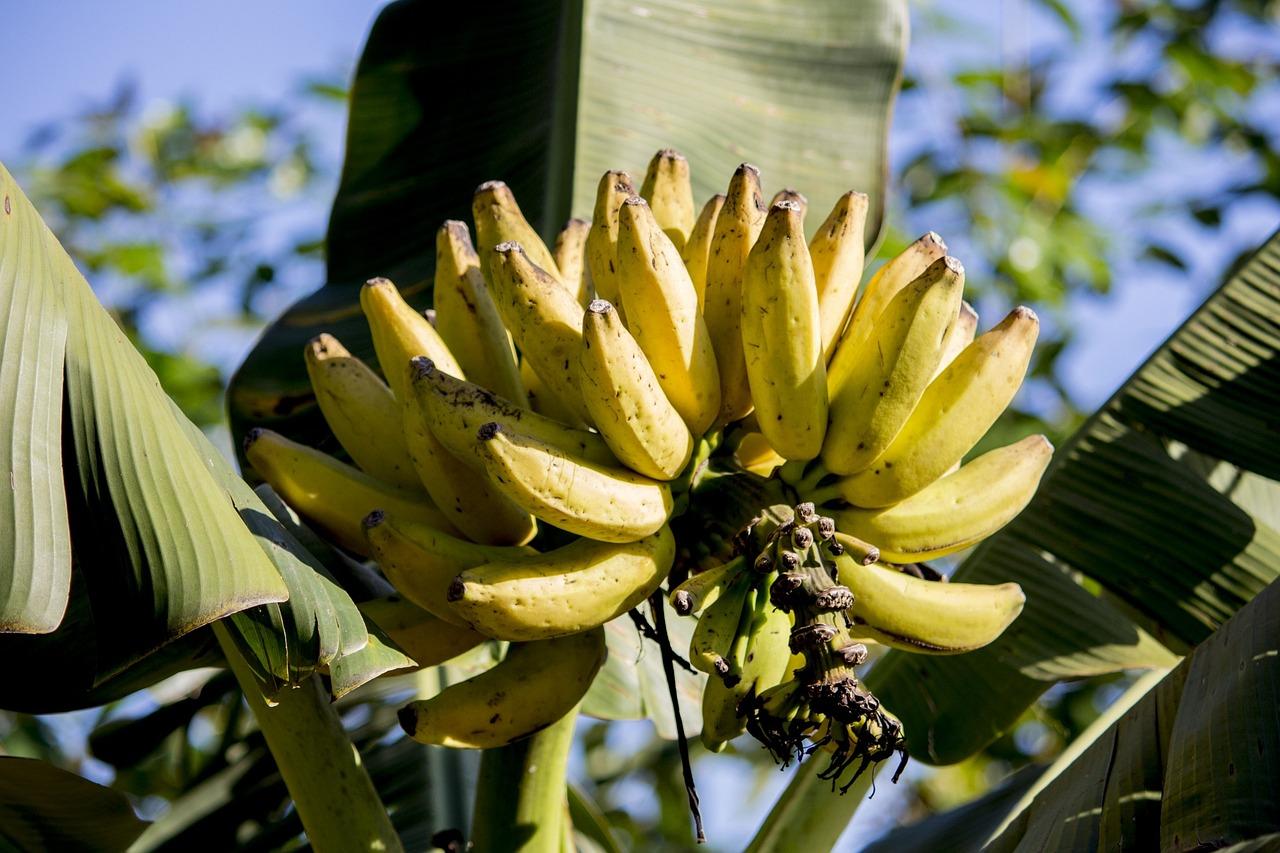 цены фрукты бананы деревья фото ароматная