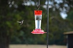 bird, hummingbird, flying
