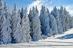 wintry, snow, firs