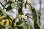 mistletoe, customs, plant