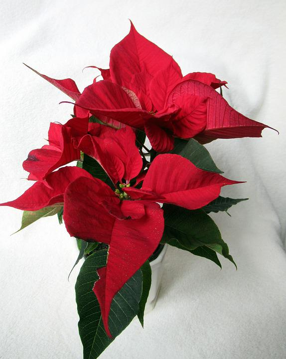 poinsettia flower images pixabay download free pictures