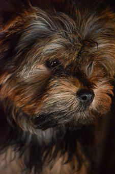 Yorkshire, Terrier, Small, Animal, Breed